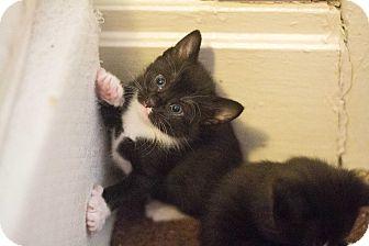 Domestic Shorthair Kitten for adoption in Morgantown, West Virginia - Melinda