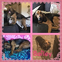 Adopt A Pet :: Bailey - Fayetteville, AR