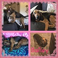 Adopt A Pet :: Bailey - Fayetteville, AR