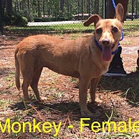 Chihuahua Dog for adoption in Waycross, Georgia - Monkey