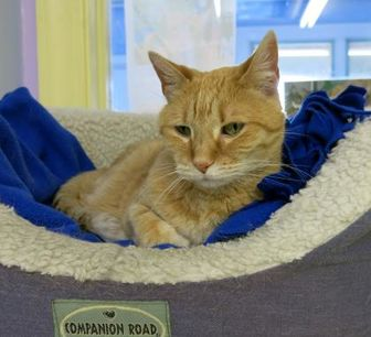 Domestic Shorthair/Domestic Shorthair Mix Cat for adoption in Northbrook, Illinois - Charlee