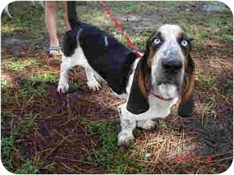 Basset Hound Dog for adoption in Kingwood, Texas - Al