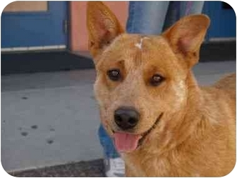 Australian Cattle Dog Mix Dog for adoption in Phoenix, Arizona - Foster