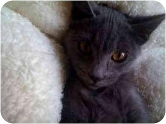 Russian Blue Kitten for adoption in Turlock, California - Petra