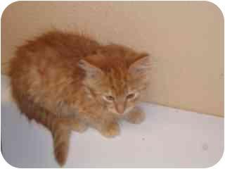 Domestic Mediumhair Kitten for adoption in Libby, Montana - Fluffy