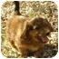Photo 2 - Dachshund Puppy for adoption in House Springs, Missouri - Miranda