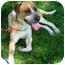 Photo 1 - St. Bernard/Hound (Unknown Type) Mix Dog for adoption in West Richland, Washington - Ranger