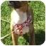 Photo 2 - American Staffordshire Terrier/Basset Hound Mix Puppy for adoption in El Segundo, California - DyBack