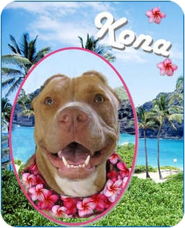 American Pit Bull Terrier Mix Dog for adoption in San Diego, California - Kona