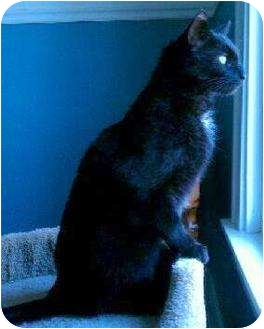 Domestic Shorthair Cat for adoption in Troy, Michigan - Lefty