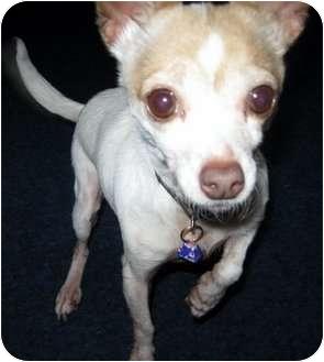 Chihuahua Mix Dog for adoption in Poulsob, Washington - Lexi