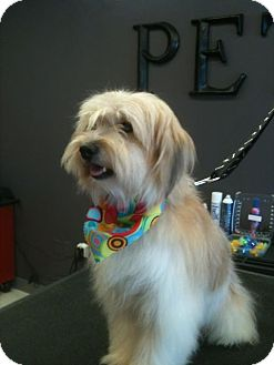 Havanese/Terrier (Unknown Type, Small) Mix Puppy for adoption in Odessa, Florida - TOMMY
