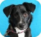Dachshund/Corgi Mix Dog for adoption in Minneapolis, Minnesota - Nessie