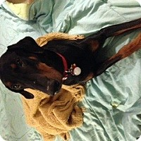 Adopt A Pet :: Piper--pending - New Richmond, OH