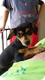 Dachshund/Chihuahua Mix Puppy for adoption in Norwalk, California - Bean