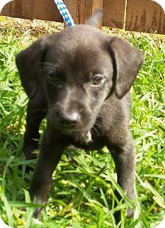 Border Collie/Labrador Retriever Mix Puppy for adoption in Allentown, New Jersey - Chandler