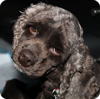 Cocker Spaniel Mix Dog for adoption in London, Ontario - April (Maddy)
