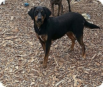 Coonhound Mix Dog for adoption in Russellville, Kentucky - Roma