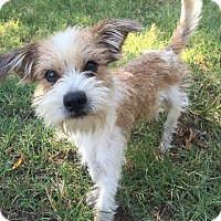 Adopt A Pet :: Alfie In Denton ADOPT PENDING - Dallas/Ft. Worth, TX