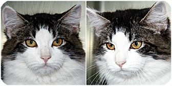 Domestic Mediumhair Kitten for adoption in Forked River, New Jersey - Pepper Jelly