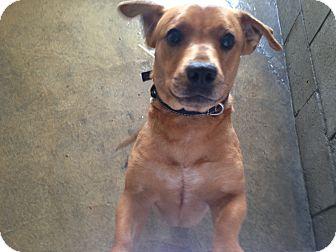 Corgi/Dachshund Mix Puppy for adoption in Pompton Lakes, New Jersey - Tinsel