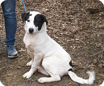 Labrador Retriever/Border Collie Mix Dog for adoption in Chicago, Illinois - WEAVER - tail never stops