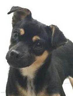 Chihuahua Mix Dog for adoption in Harrisonburg, Virginia - Fifi