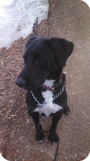 Labrador Retriever Mix Dog for adoption in Barrett, Minnesota - Duke