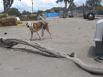 Bulldog/Bull Terrier Mix Dog for adoption in Pie Town, New Mexico - Sweeney