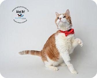 Domestic Shorthair Cat for adoption in Alexandria, Virginia - Rusty