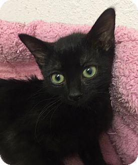 Domestic Shorthair Kitten for adoption in Toledo, Ohio - Bat Girl