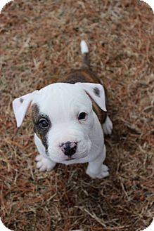 Pit Bull Terrier Mix Puppy for adoption in Framingham, Massachusetts - Callen