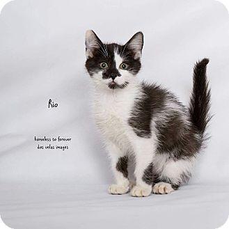Domestic Shorthair Cat for adoption in Arcadia, California - Rio