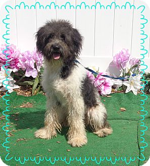 Terrier (Unknown Type, Medium)/Poodle (Miniature) Mix Dog for adoption in Marietta, Georgia - BUDDY