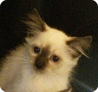 Siamese Kitten for adoption in Metairie, Louisiana - Shogun