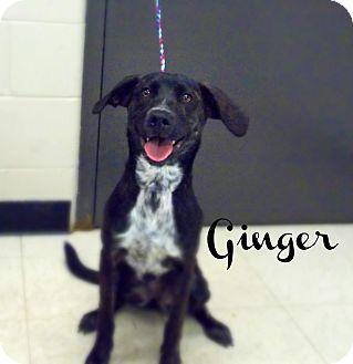 Labrador Retriever Mix Dog for adoption in Defiance, Ohio - Ginger