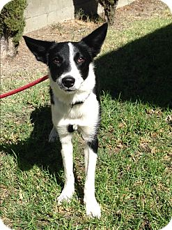 Border Collie Dog for adoption in San Pedro, California - ARIEL