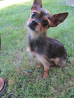 Yorkie, Yorkshire Terrier/Terrier (Unknown Type, Medium) Mix Dog for adoption in Chicago, Illinois - Zoey