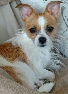 Chihuahua Dog for adoption in Centreville, Virginia - Leo - Foster needed