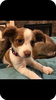 Papillon/Chihuahua Mix Puppy for adoption in Gallatin, Tennessee - Iris