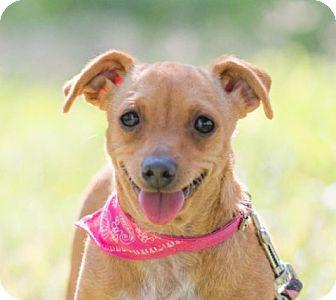 Chihuahua/Dachshund Mix Dog for adoption in pasadena, California - POLLY