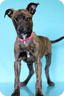 Catahoula Leopard Dog Mix Puppy for adoption in Waldorf, Maryland - Calista
