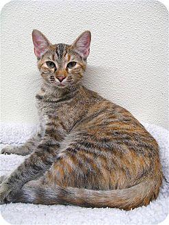 American Shorthair Cat for adoption in Sautee, Georgia - Bree