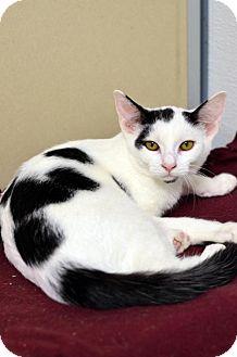 Domestic Shorthair Cat for adoption in Atlanta, Georgia - Omar 160819