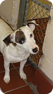 Jack Russell Terrier Mix Dog for adoption in Waynesville, North Carolina - Binga