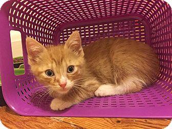 Domestic Shorthair Kitten for adoption in Baltimore, Maryland - Tortellini