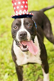 Boxer/Pit Bull Terrier Mix Dog for adoption in Seattle, Washington - Jethro