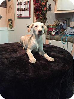Labrador Retriever/Catahoula Leopard Dog Mix Puppy for adoption in Kittery, Maine - Brooks