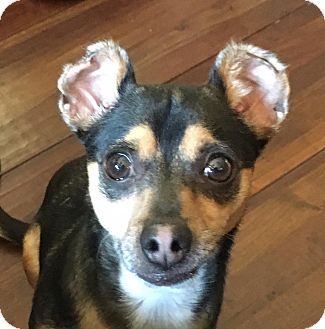 Miniature Pinscher/Chihuahua Mix Dog for adoption in Denver, Colorado - Karma