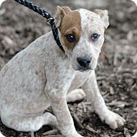 Adopt A Pet :: Lola $250 - Seneca, SC